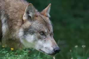 wolf-predator-european-wolf-carnivores-162110