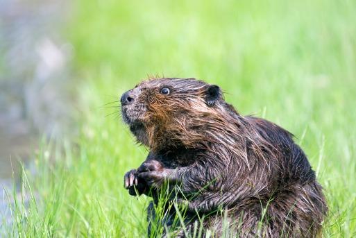 beaver-1448389_1920